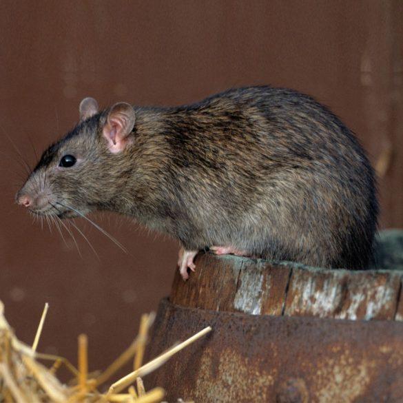 ISOTRONIC Ultrahangos rágcsálóriasztó egér riasztó patkány riasztó 55631
